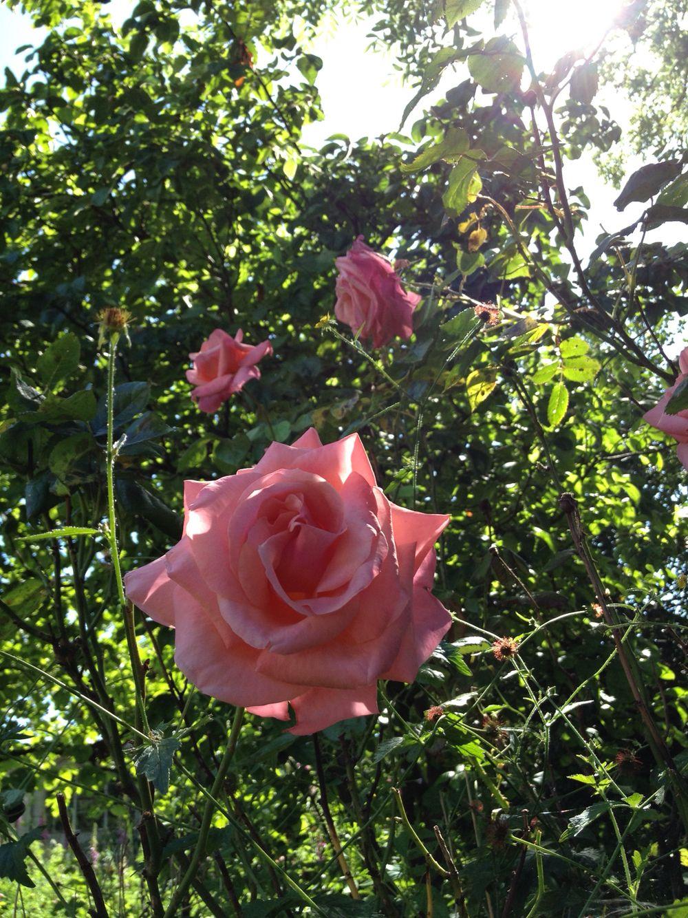 Roses, light, garden