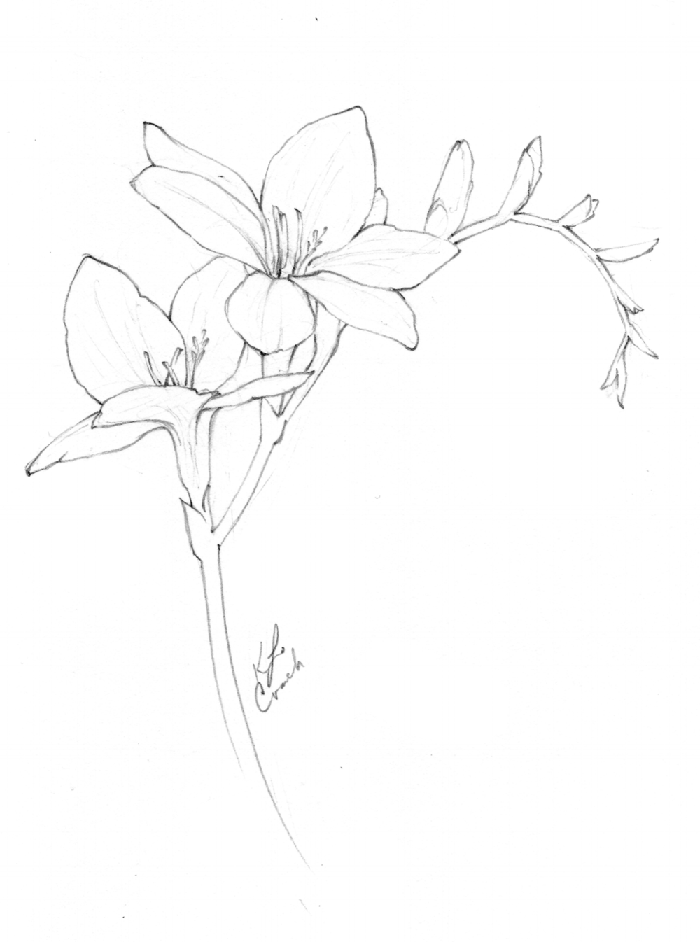 Flower Drawings Floral drawing, Plant drawing, Freesia