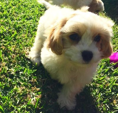 Maltalier Cottage Canines Australia King Charles Spaniel Pup
