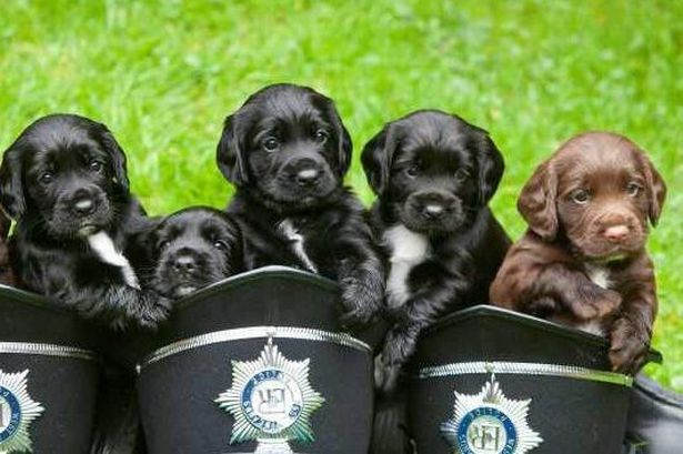 Meet The Sprockers Cute New Pictures Of West Midlands Police S Latest Four Legged Recruits Four Legged Sprocker Puppies Sprocker Spaniel