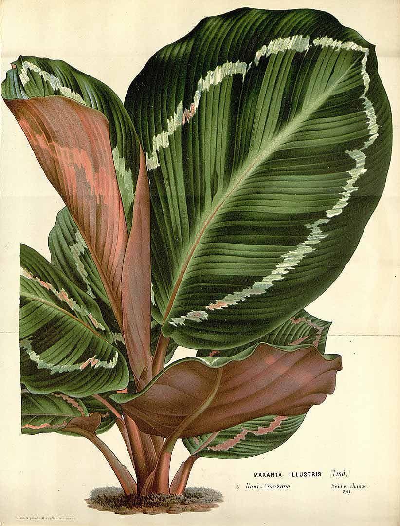 Calathea roseopicta (Linden) Regel | Maranta roseopicta Linden | Maranta illustris Linden