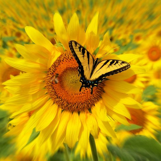 ~~ Beautiful Day by signore ~ butterfly on sunflower~~
