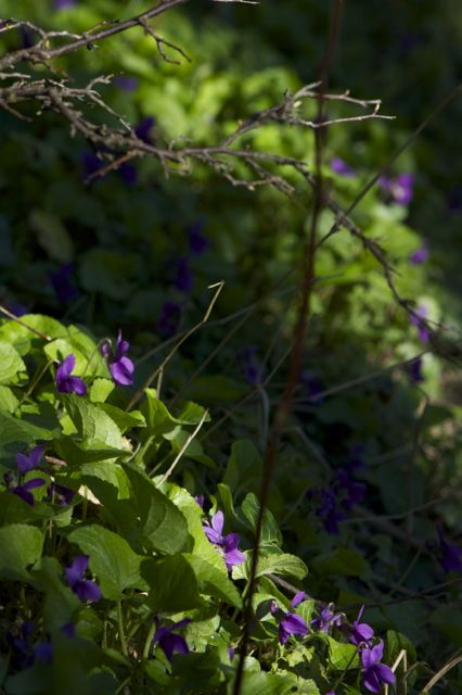 Violet love from UK herbalist Lucinda Warner. Learn how violets are the perfect antidote to sluggish winter lymphatics.