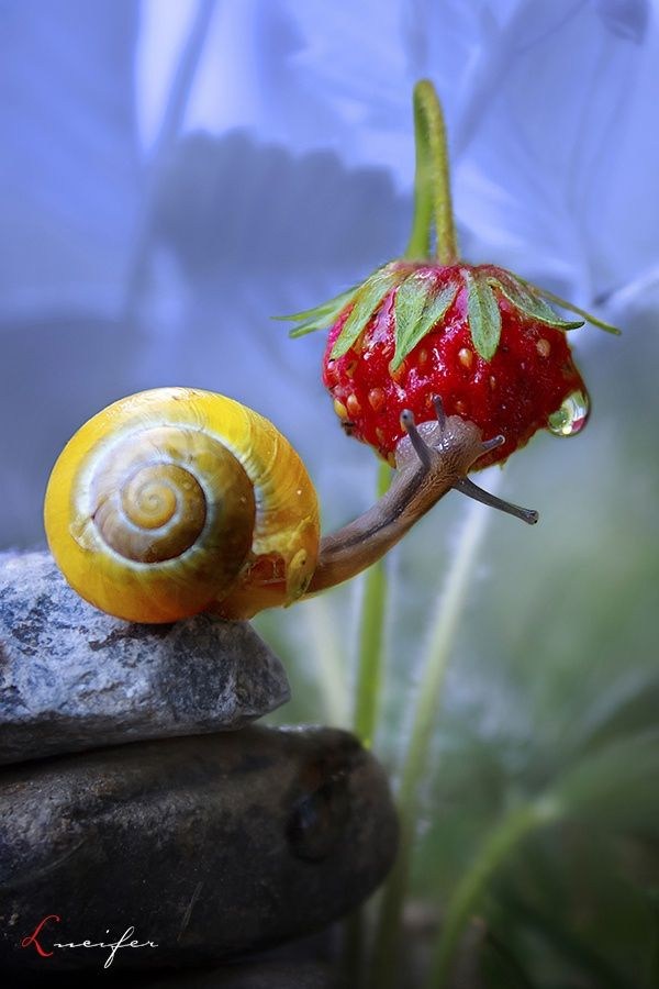 one of my first snail photos taken some time back :)  and he really ate the strawberry to my surprise :D  wish you happy Sunday :)