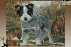 Blue Heeler Puppies For Sale In Missouri Blue Heeler Puppies