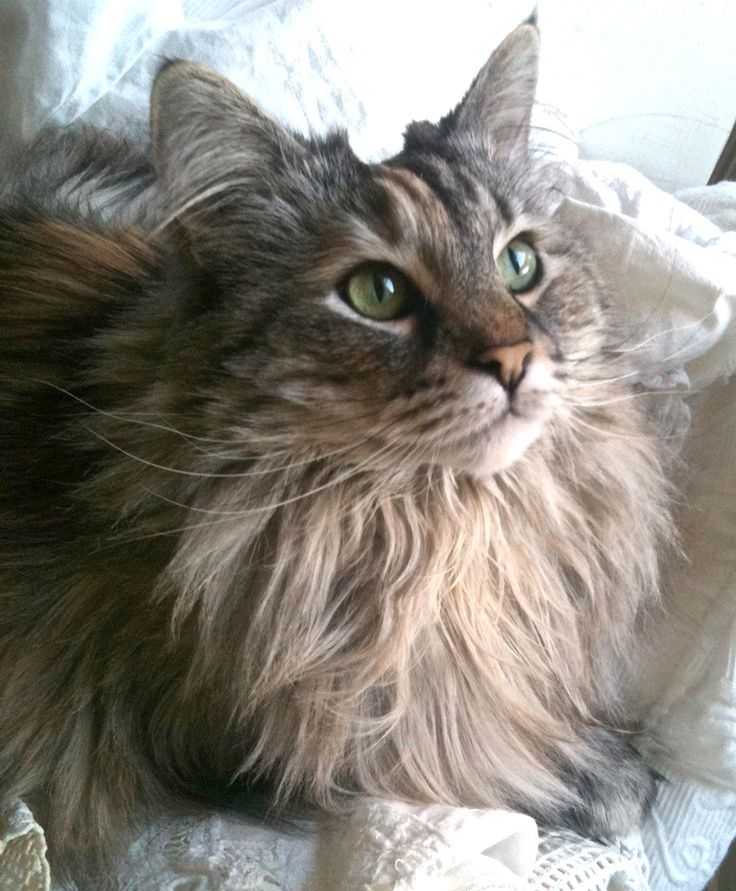 Pin by Kathy Gibbons on Norwegian forest cat Norwegian