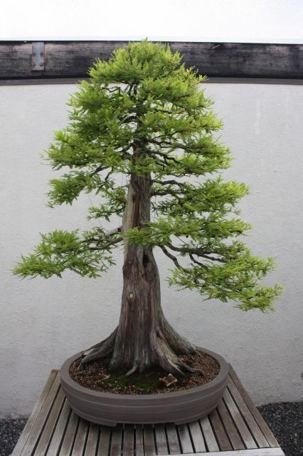 Bald Cypress Vs Dawn Redwood Bonsai Forest Bonsai Tree Redwood Bonsai
