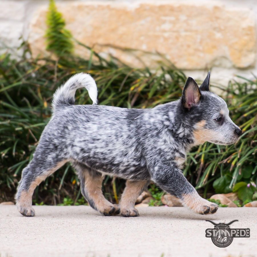 Australian Cattle Dog Blue Heeler Puppy Dogs Austrailian Cattle Dog Cattle Dogs Rule Heeler Puppies