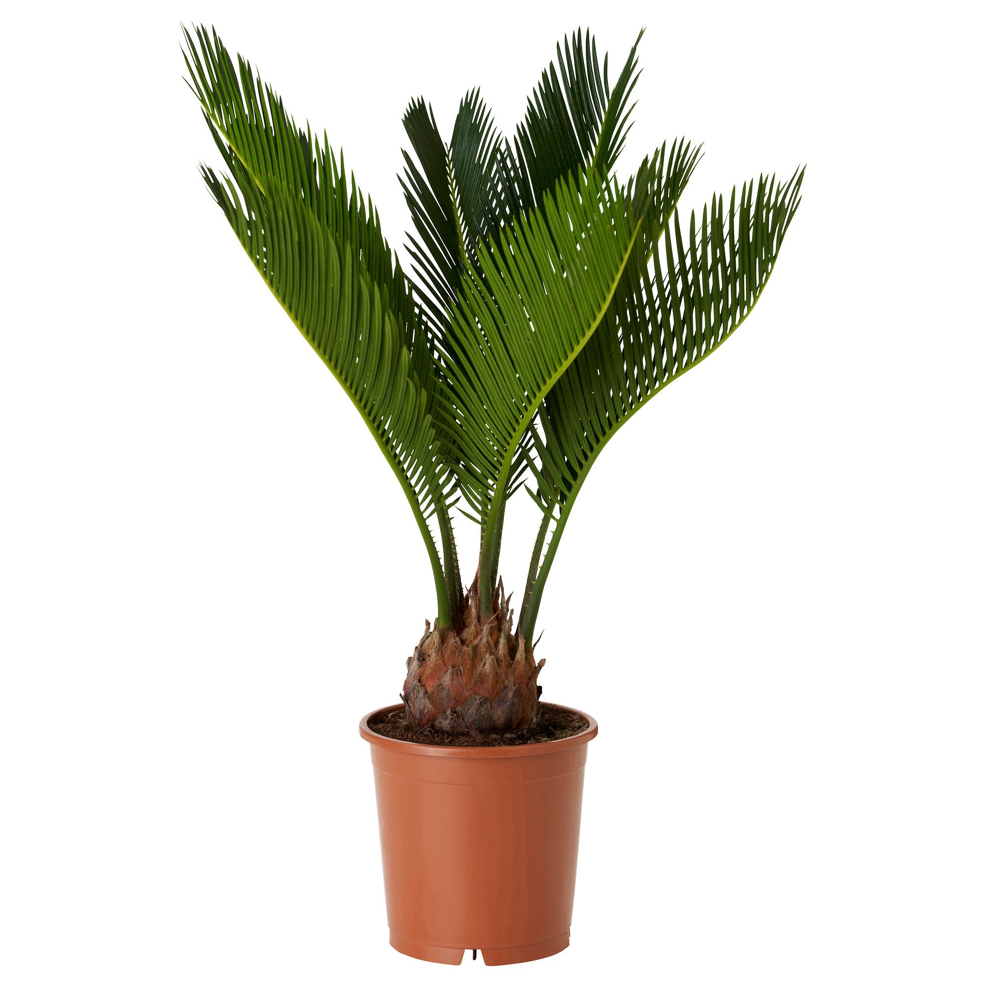 Ikea Palm Tree Cycas Revoluta Potted Plant Ikea 7 50 Home Decor Ikea