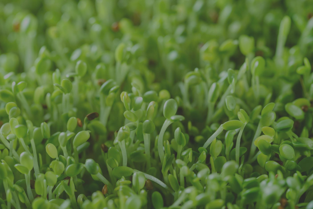 Broccoli Sprouts The 25 Insanely Powerful Sulforaphane