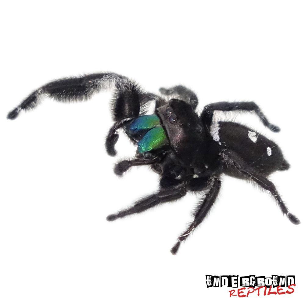 regal jumping spider for sale tarantula enclosures pinterest