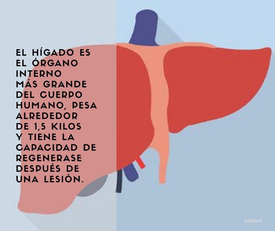 Salud El hígado es el órgano interno más grande del cuerpo humano ...