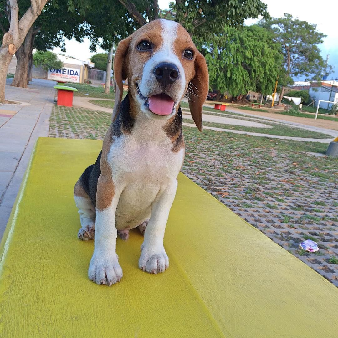 Cute Beagle Pluto With Images Cute Beagles Beagle Baby Beagle