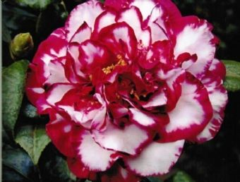 Camellia Japonica Bev Piets Smile I Think County Line Has This One For Sale Camellia Plant Camellia Mosaic Garden