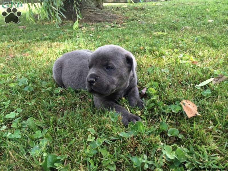 Benji, Cane Corso puppy for sale in Gap, Pa Cane corso