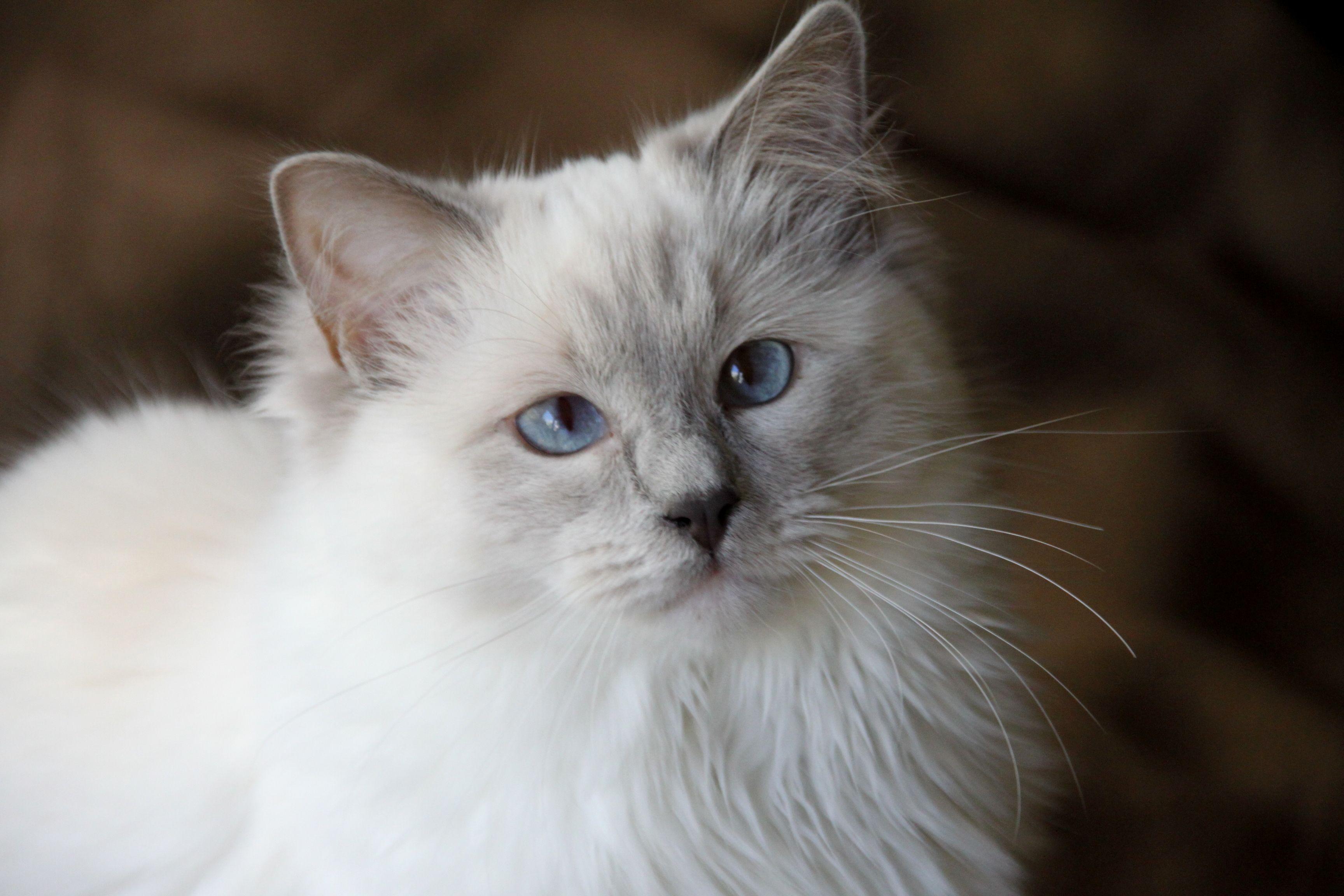 My Beautiful Ragdoll 3 Www Ribbonsragdolls Com Cute Cats Ragdoll Cat Ragdoll