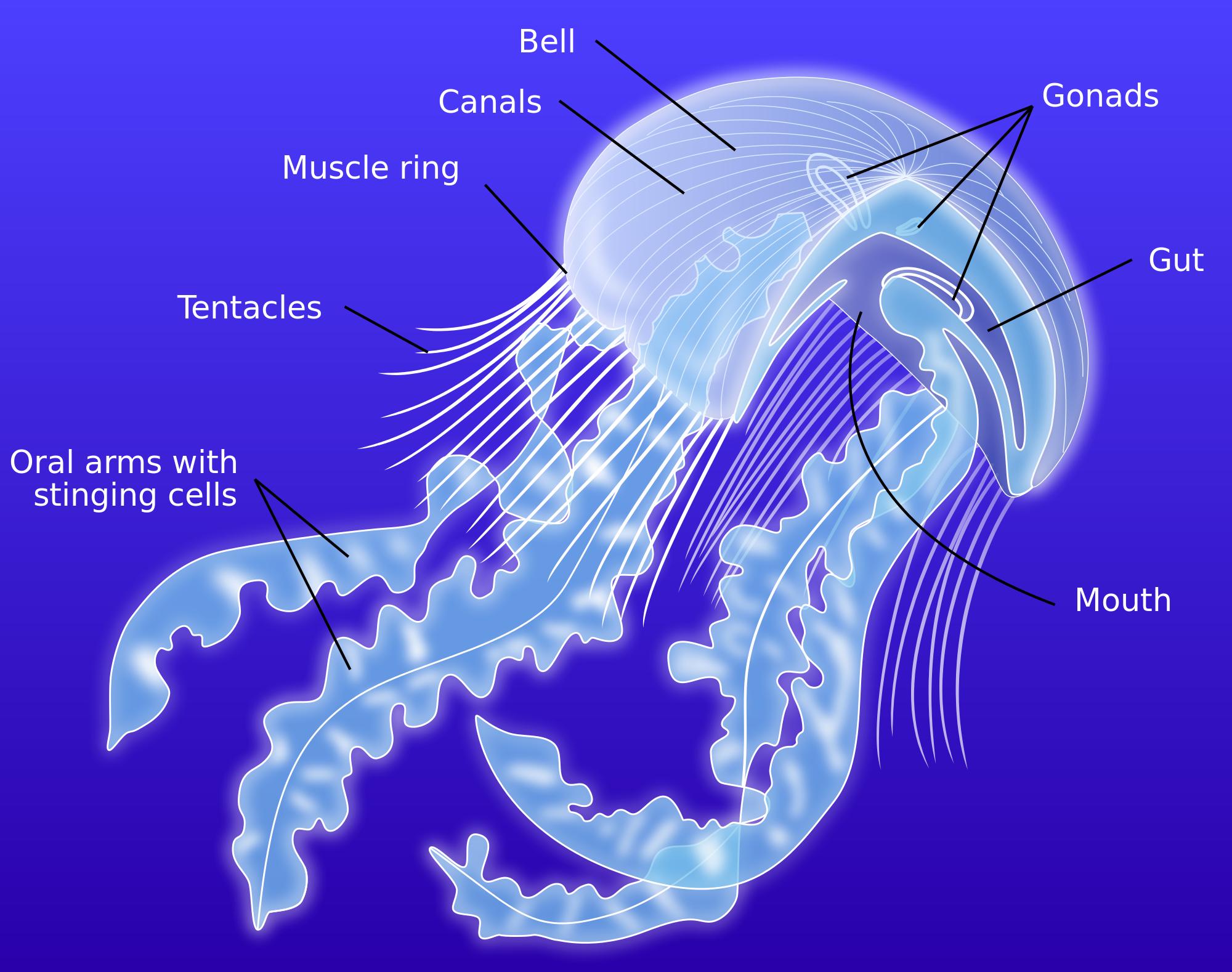 Fileanatomy Of A Jellyfish Eng Wikimedia Commons Art