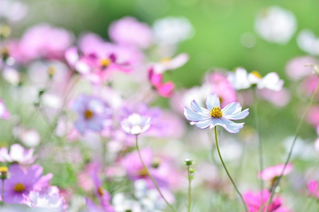 Fall Is The Season To Enjoy Cosmos In Japan Cosmos Japanese Landscape Plants