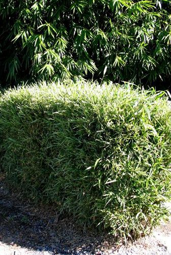 Bamboo Down Under » Malay Dwarf Variegated - Bamboo Down Under