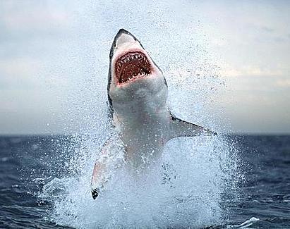 white shark | hai bilder, großer weißer hai, hai
