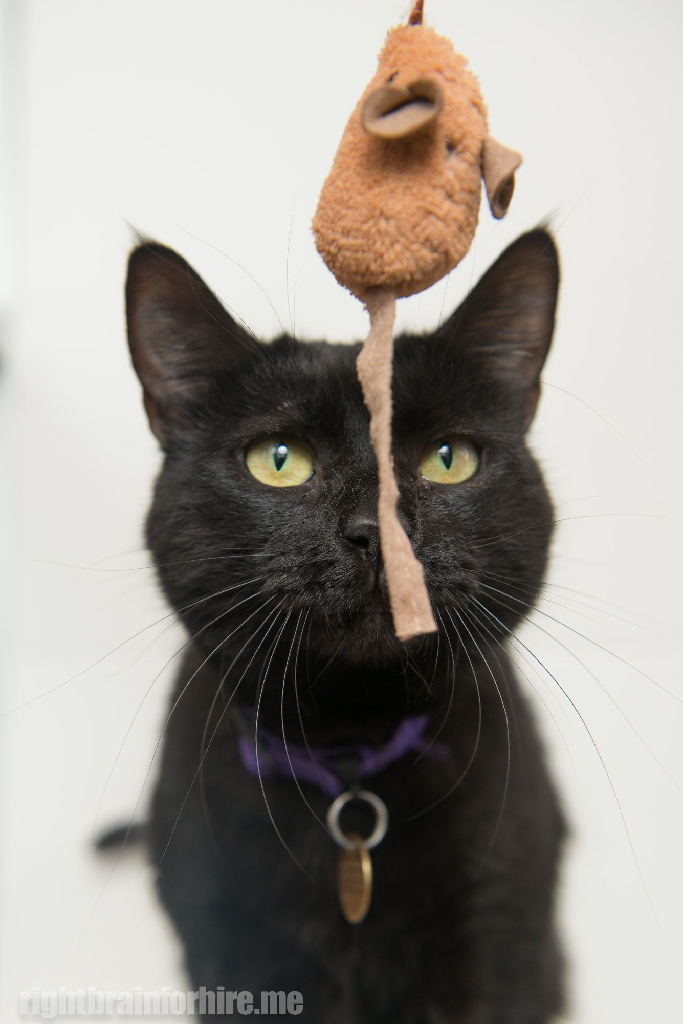Update Adopted March 2014 Shadow Is A Beautiful Black Cat Who Is Very Playful She Will Follow You Around And Entrance You With Her Cat Adoption Cats Pet Dogs