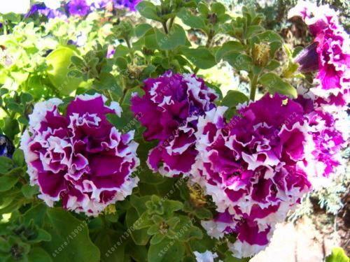 100 pcs Hanging Double Petals Petunia Bonsai Flower Short Height Flowers Seeds I