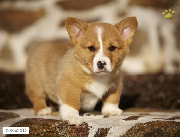 Brent Welsh Corgi Pembroke Puppy For Sale In Honey Brook Pa