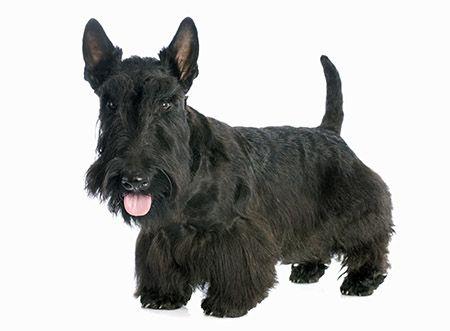 Scottish Terrier Dogs Dog Shedding Breeds