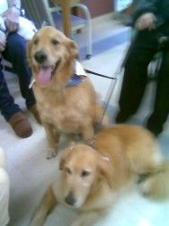 Adopt Grrand Dog On Petfinder Dogs Dogs Golden Retriever Pet Search
