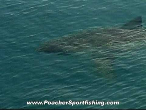 Great White Shark Off The Outer Banks Of North Carolina Great White Shark Outer Banks Shark