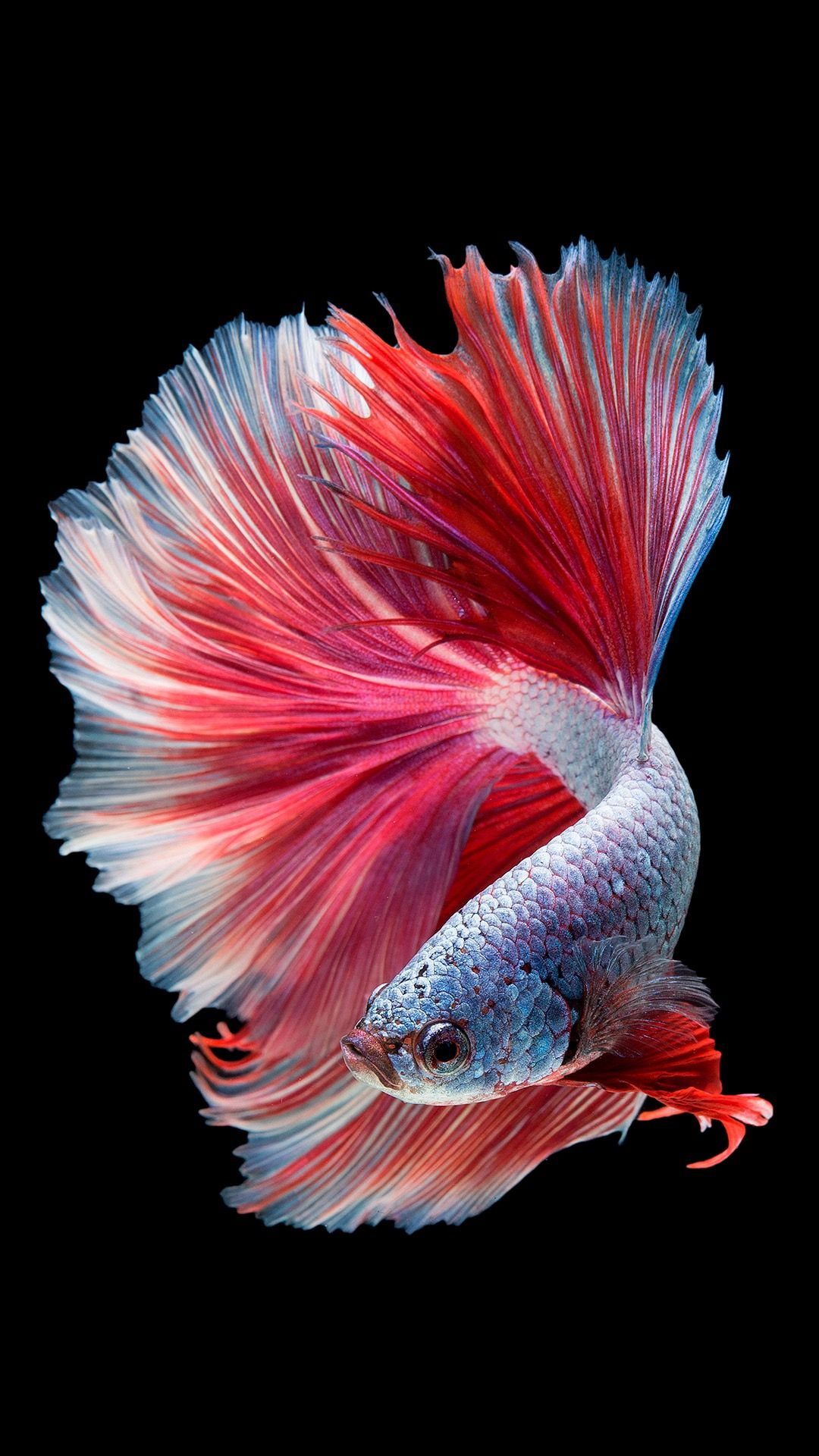 Black Bright Wallpaper Fish Wallpaper Betta Fish Types Pretty Fish