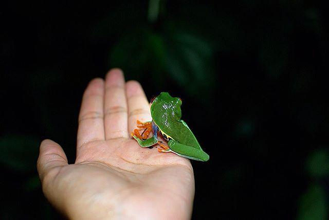 """""""Tortuguero lo más especial que he visto. Nunca vi tantos, pero tantos animales libres en mi vida, como esta rana verde de ojos rojos en la oscuridad de la selva. No exagero cuando digo que creo que fue uno de los mejores día de mi vida ✨🌴🐸🌙"""" by (nicolearayaa). discovercostarica #vscocam #natgeotravel #costaricacool #darlingescapes #visitcostarica #letsgosomewhere #travelstoke #doyoutravel #wanderfolk #livefolk #wearetravelgirls #instasantiago #sheisnotlost #tortuguero #puravida…"""