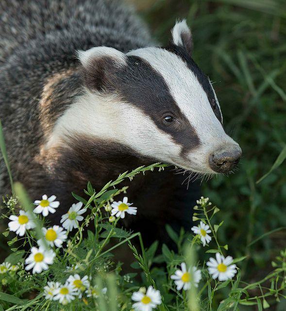 Badger & Daisies - BWC | Flickr - Photo Sharing!