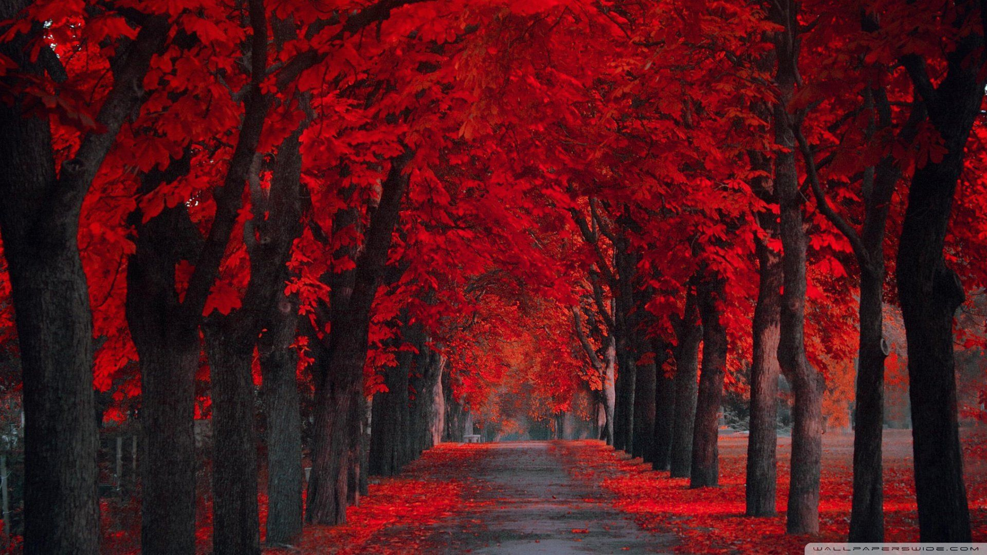 Download Red Fall Leaves Wallpaper Desktop Background Y896d Ahuhah Com Autumn Leaves Wallpaper Red Wallpaper Fall Wallpaper