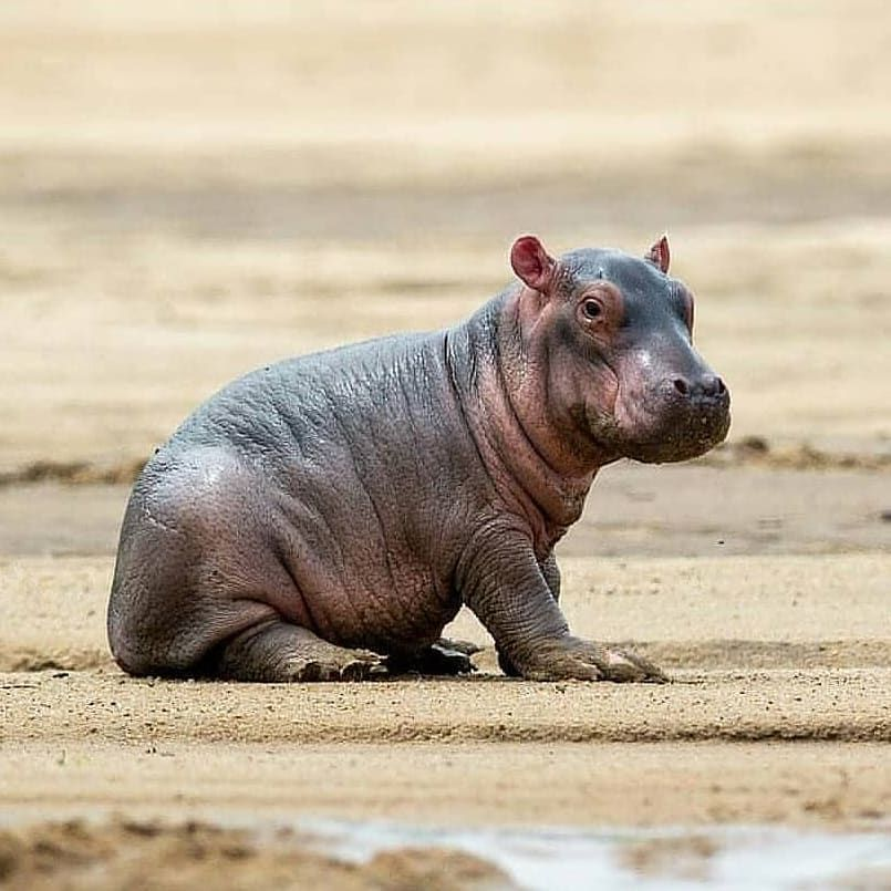 """African Animals on Instagram: """"Aawh, a baby hippo! It's really cute."""