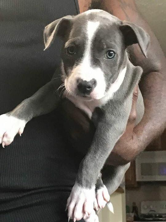 Tri Color Pitbull Puppies For Sale Near Me Pitbull Puppies