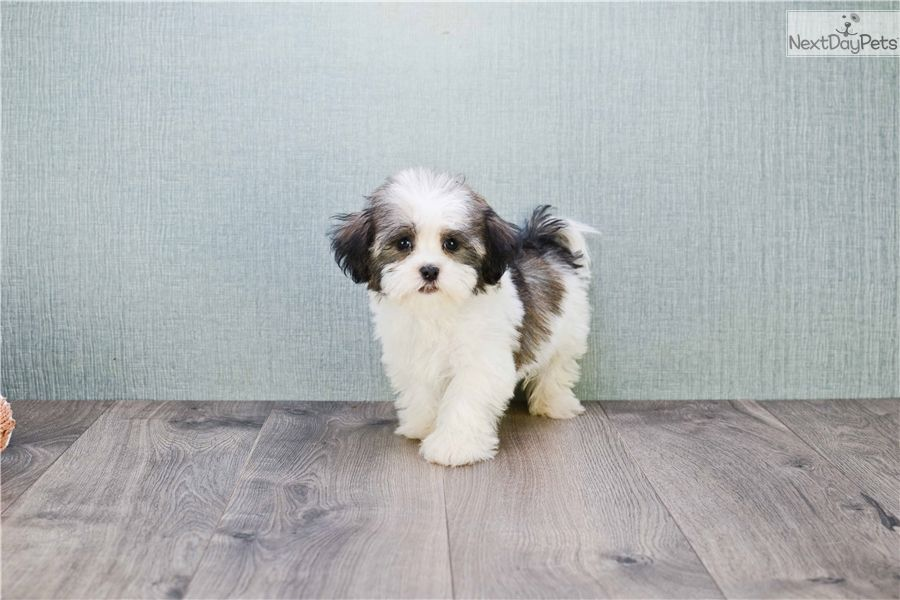 Pin on Havanese Puppies