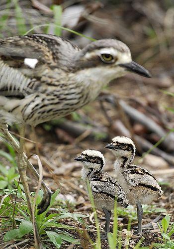 Bush Stone Curlew With Chicks Bush Stone Curlew Or Bush Thick Knee Burhinus Grallarius Obsolete Name Burhinus Magniro Pet Birds Beautiful Birds Curlew Bird
