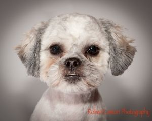 """CALI is an adoptable Shih Tzu Dog in Eden Prairie, MN. Didn't get your sweet tooth satisfied during the holiday? Well, here is a """"sweet treat"""" you can't resist. Cali is a little buddle of sweetness,..."""