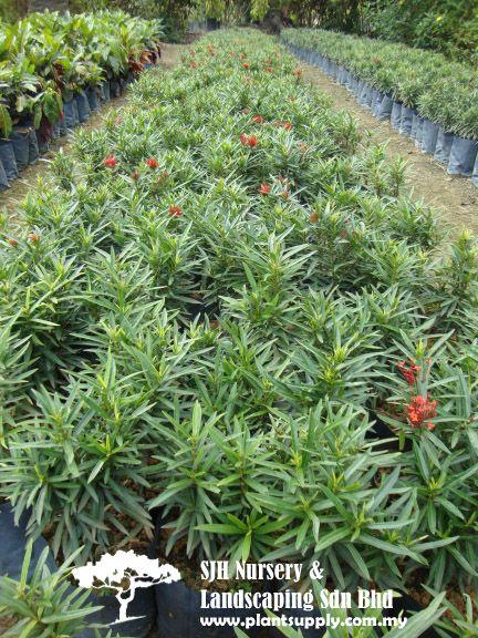 Shrubs Shrubs Landscaping Garden Plants Wholesale Plants