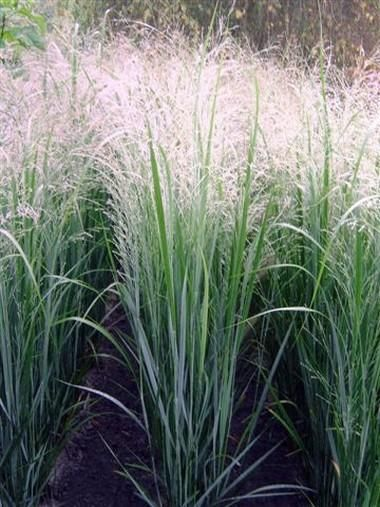 panicum virgatum 39 northwind 39 ornamental grasses pinterest more grasses ideas. Black Bedroom Furniture Sets. Home Design Ideas