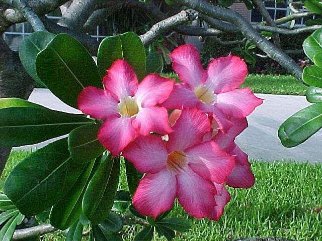 Desert Flower Names Common Name Desert Rose Adenium Scientific Name Adenium Obesum Family Desert Rose Plant Planting Roses Adenium