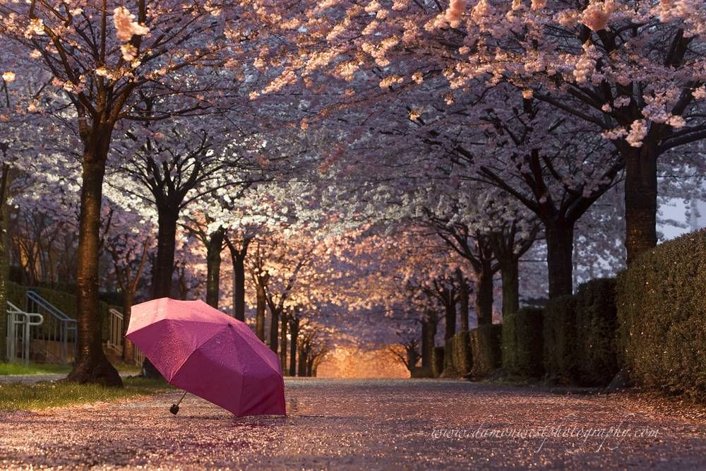 Image result for vancouver cherry blossom Pinterest
