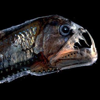 Fang Fish