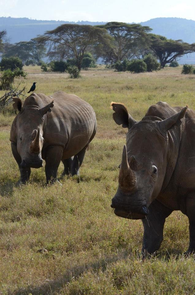 ᙢᏋяⱴᏋįℓℓɛųᎦɛ Ꮳяєαɬįσи (white rhinos | par alvin pastrana)