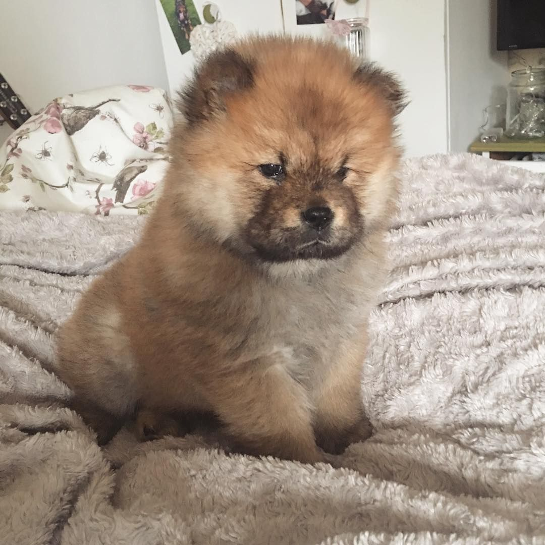 Such A Tiny Baby I Chowchow Fluffy Dogs Cute Baby Animals Puppies