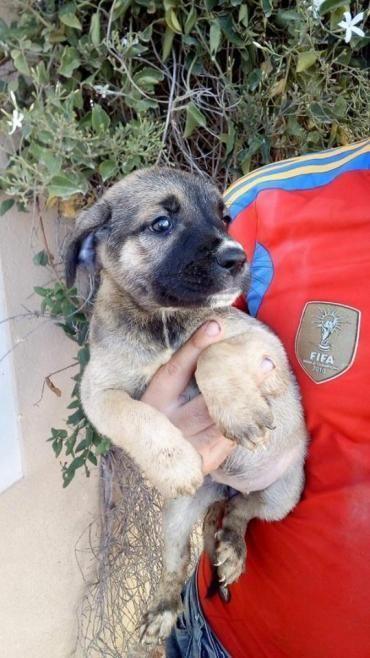 Hund Welpe, Deutsche Dogge (Mischling, Hündin, 2 Monate