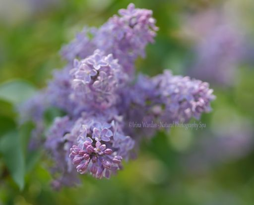 Lilac Flower With Healing Color Purple Lilac Walls Flowers Photography Floral Bedroom
