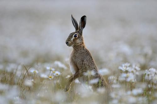 Brown Hare In Ox Eye Daisies Norfolk World Land Trust Gallery Hare Animal Nature Pictures Hare