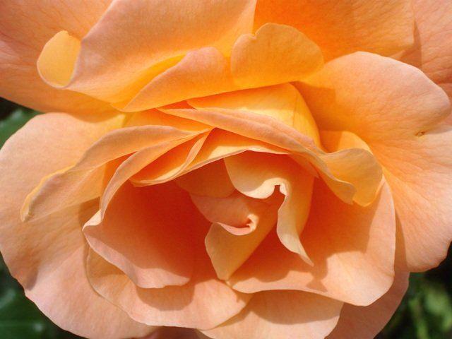 Rossz idő ide, rossz idő oda, a kertünkben nyílnak és csodálatosan illatoznak a rózsák. Míg nem volt kertünk és csak a bolti rózsákkal találkoztam...
